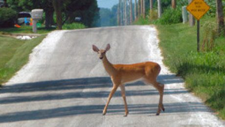 Deer-on-the-road
